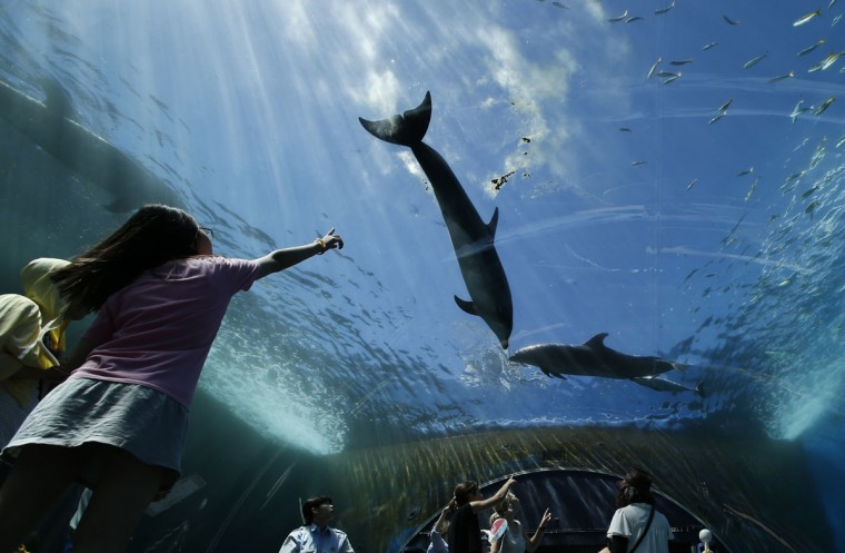 Bottlenose dolphins swim over visitors in water tank at the Hakkeijima Sea Paradise aquarium-amusement park complex in Yokohama, southwest of Tokyo, Tuesday, July 21, 2015. Temperatures in Tokyo's metropolitan area neared around 96 degree Fahrenheit, or 35 degree Celsius, on Tuesday. (AP Photo/Shuji Kajiyama)