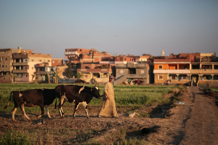 In this Thursday, May 14, 2015 photo, a farmer leads his cattle on his way home, in a village in the Nile Delta town of Behira, 300 kilometers (186 miles) north of Cairo, Egypt. Red-brick urban settlements are springing up everywhere in Egypt, snuffing out farmland to make way for the growing population in this country of about 90 million people. (AP Photo/Mosa'ab Elshamy)