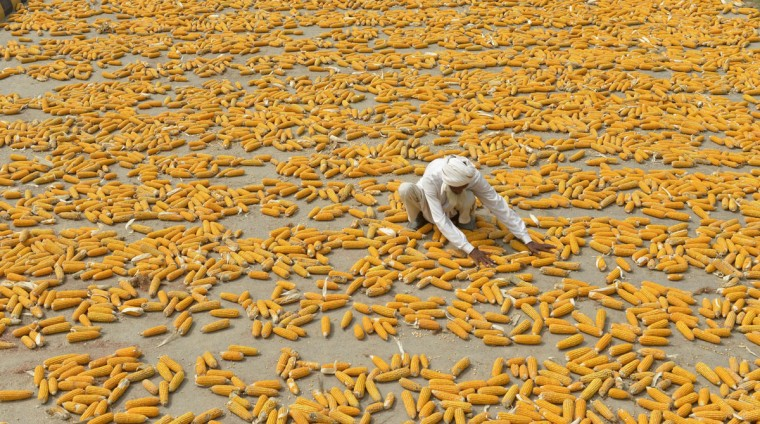 A Pakistani farmer dries his corn in a field on the outskirts of Lahore on August 9, 2015. (AFP Photo/Arif Ali)