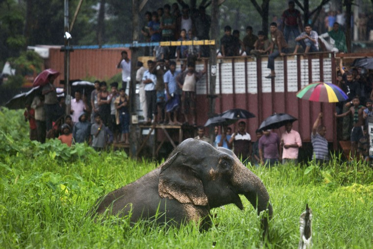 Onlookers stand on vehicles and watch as a wild male elephant, who got separated from his herd, pulls itself out of muddy pit on the outskirts of Gauhati, India, Thursday, Aug. 20, 2015. The herd of wild elephants was coming down from a nearby hill of India's northeastern state of Meghalaya on the outskirts of Gauhati, the capital of Assam state. As the pressure of population pushes human habitation closer to forests incidents of wild animals straying into cities is increasingly reported. No incident involving the wild elephant was reported. (AP Photo/Anupam Nath)