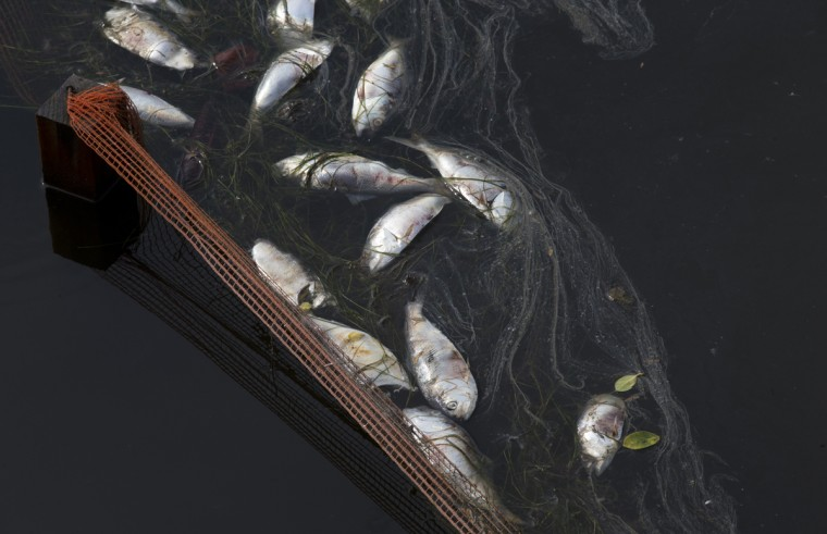 In this April 13, 2015 file photo, dead fish float at the Rodrigo de Freitas lagoon in Rio de Janeiro, Brazil. The rowing and canoeing venue for the 2016 Rio Olympics will be held at the Rodrigo de Freitas lagoon, which is a beautiful locale spoiled by sewage-filled water and floating debris. (AP Photo/Silvia Izquierdo)