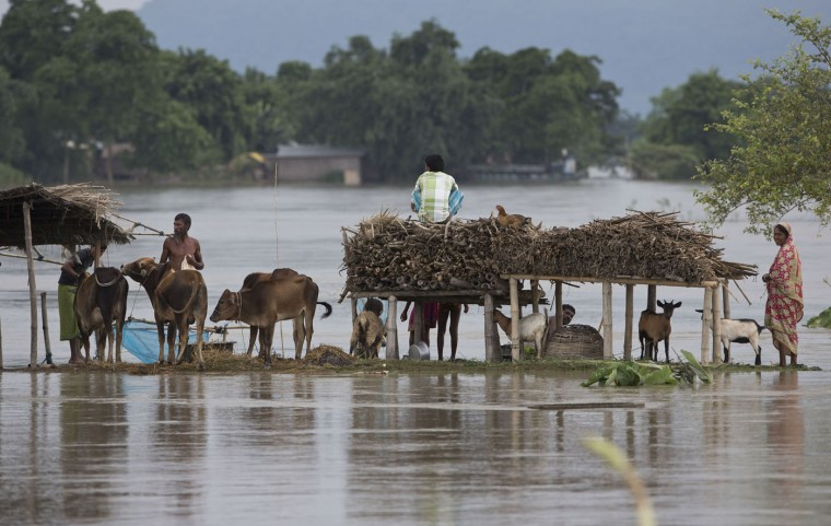 Indian farmers gather next livestock on a flood affected area in Ximolutola village, about 85 kilometers (53 miles) east of Gauhati, India , Saturday, Aug. 22, 2015. State authorities say that monsoon flooding has nearly 200,000 people to leave their homes and take shelter in state-run tents this week. The area is prone to flooding during the June-to-September monsoon season. (AP Photo/Anupam Nath)