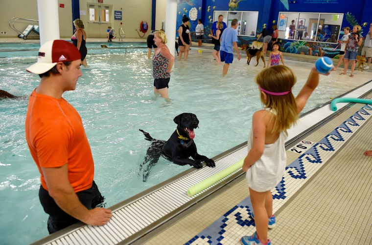 Ellsworth, a 5 year old black lab, excitedly anticipates the throw as Harper Bennett, 3, plays with him at the YMCA's annual Doggie Dip event at the Dunigan Family Y in Evansville, Ind. Saturday, Aug. 22, 2015. Harper's dad Matt Bennett is at left. (Darrin Phegley/Courier & Press via AP)