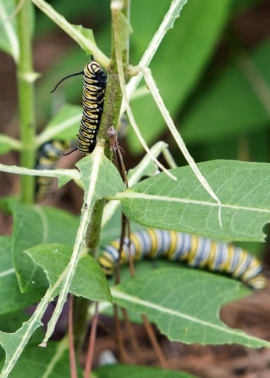 Monarch Caterpillars sit on a milkweed plant at the Barkley Regional Airportís viewing garden on Saturday, Aug. 22, 2015, in Paducah, Ky. In roughly one to two weeks the caterpillars will emerge as beautiful monarch butterflies. (Ellen OíNan/The Paducah Sun via AP)