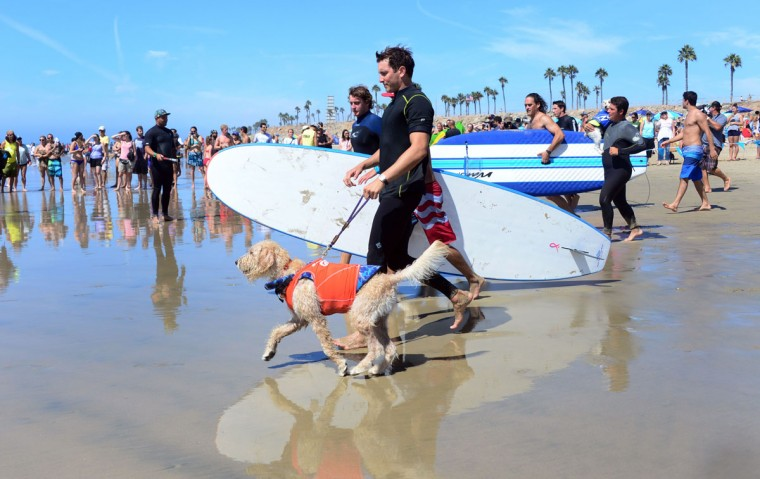 Participants head for the water as dogs, big and small, and some in tandem or with their owner, participate in the 7th annual Surf City Surf Dog contest in Huntington Beach, Calif., on Sept. 27, 2015. (FREDERIC J. BROWN/AFP/Getty Images)
