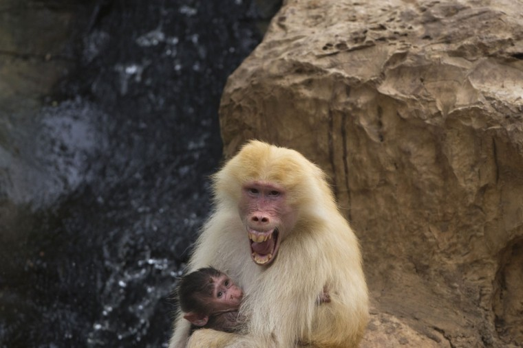 Sahara, a rare red-haired female Hamadryas Baboon holds 3 weeks old dark-furred baby in the Ramat Gan Safari Park near Tel Aviv, Israel, Wednesday, Sept. 9, 2015. A rare red-haired baboon gave birth recently to a dark-haired infant at an Israeli zoo, the first time in decades that one of these light-furred primates has given birth at the zoo. Mor Porat, a zookeeper, said the Safari is ecstatic about the birth of the baby and hopes that the mother's light-furred gene will be passed on to other baboon offspring. (AP Photo/Ariel Schalit)