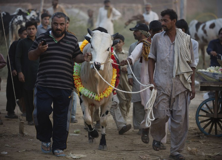 Pakistani customers moves a cow they bought from a market to sacrifice later in the upcoming Eid al-Adha in Islamabad, Pakistan, Thursday, Sept. 17, 2015. Eid al-Adha, or the Feast of the Sacrifice, is celebrated to commemorate the Prophet Ibrahim's faith in being willing to sacrifice his son. (AP Photo/B.K. Bangash)