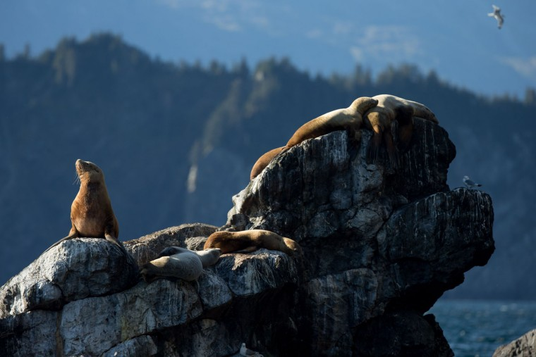 Sea lions lay on rocks near Fox Island as President Barack Obama takes a boat tour to see the effects of global warming in Resurrection Cove, Tuesday, Sept. 1, 2015, in Seward, Alaska. Obama is on a historic three-day trip to Alaska aimed at showing solidarity with a state often overlooked by Washington, while using its glorious but changing landscape as an urgent call to action on climate change. (AP Photo/Andrew Harnik)