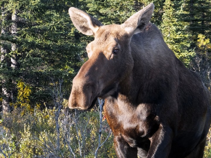 A moose approaches the main road, Tuesday, Sept. 1, 2015, in Denali National Park and Preserve, Alaska. The moose rutting season usually starts in mid-August and goes through early October, according to a park spokeswoman, prompting special closures restricting off-road hiking and photography in those areas. (AP Photo/Becky Bohrer)