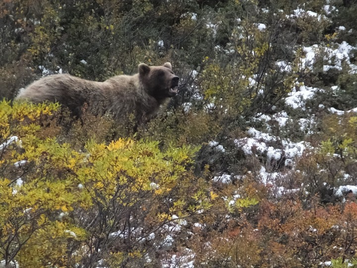 A grizzly bear looks up from foraging on Monday, Aug. 31, 2015, in Denali National Park and Preserve, Alaska. (AP Photo/Becky Bohrer)