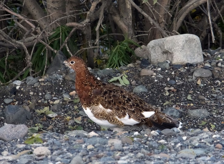 A ptarmigan stands near the park road, Wednesday, Sept. 2, 2015, in Denali National Park and Preserve, Alaska. The park is an adventurer's paradise with few marked trails, inviting backcountry exploration. (AP Photo/Becky Bohrer)