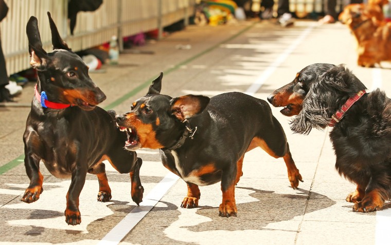 A mini dachshund chases a competitor as he competes in the Hophaus Southgate Inaugural Dachshund Running of the Wieners Race on September 19, 2015 in Melbourne, Australia. 30 mini dachshunds, 6 standard dachshunds and 18 dachshund puppies all competed for first place and for Best Dressed Dachshund during the annual Oktoberfest celebration. (Scott Barbour/Getty Images)