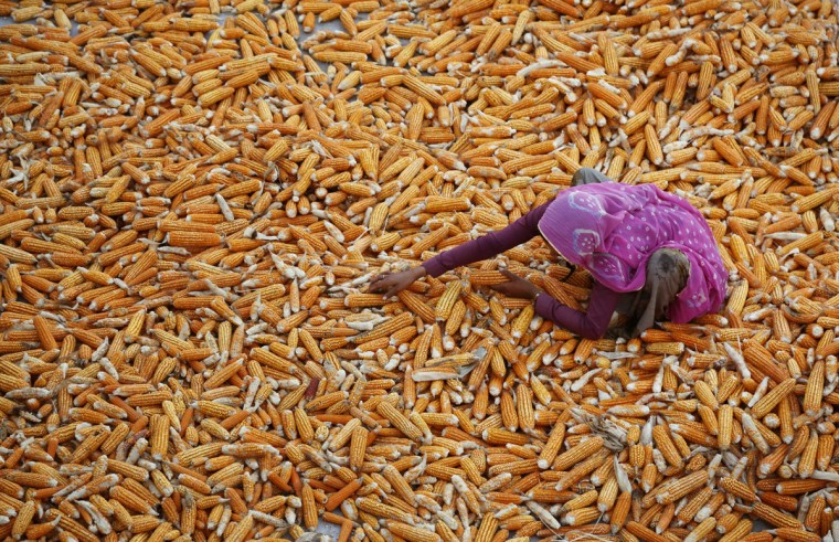 An Indian woman farmer dries the maize crop at Aloli village, about 90 kilometers (56 miles) southeast of Ajmer, Indiaís western state of Rajasthan, Thursday, Oct. 8, 2015. Maize is an important cereal crop in the world after wheat and rice. (AP Photo/Deepak Sharma)