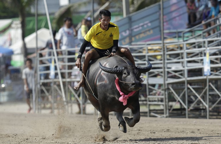 A Thai jockey competes during an annual water buffalo race in Chonburi Province, south of Bangkok, Thailand, Monday, Oct. 26, 2015. The annual race is a celebration among rice farmers before harvest. (AP Photo/Sakchai Lalit)