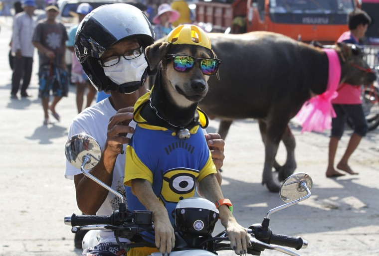 A man and his dog sit on his motorcycle watching the water buffalo race in Chonburi Province south of Bangkok, Thailand, Monday, Oct. 26, 2015. The annual race is a celebration among rice farmers before harvest. (AP Photo/Sakchai Lalit)