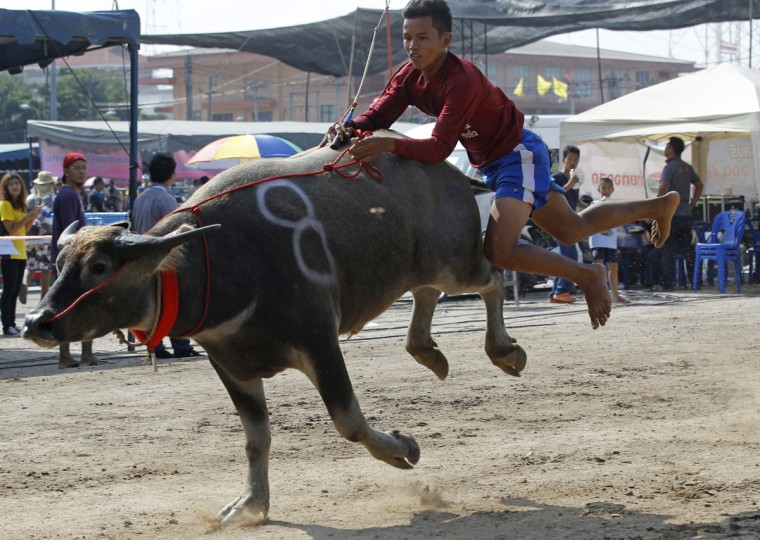 A young jockey jumps off his water buffalo after crossing the finish line during the annual water buffalo race in Chonburi Province south of Bangkok, Thailand, Monday, Oct. 26, 2015. The annual race is a celebration among rice farmers before harvest. (AP Photo/Sakchai Lalit)