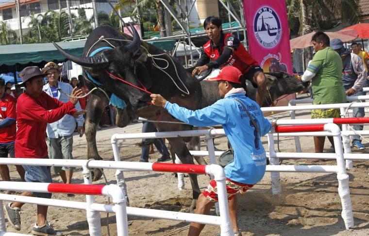 A jockey tries to control his water buffalo before competing in the annual water buffalo race in Chonburi Province south of Bangkok, Thailand, Monday, Oct. 26, 2015. The annual race is a celebration among rice farmers before harvest. (AP Photo/Sakchai Lalit)