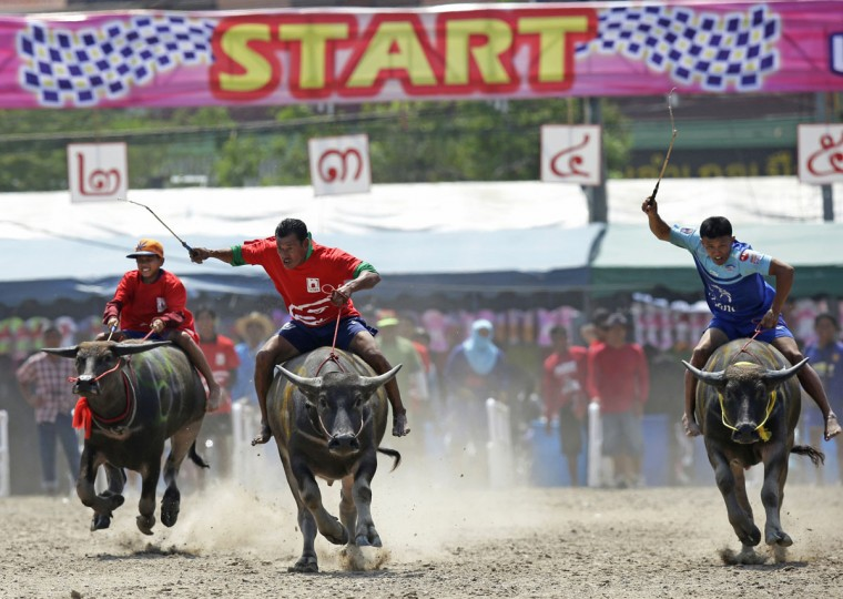 Jockeys compete during the annual water buffalo race in Chonburi Province south of Bangkok, Thailand, Monday, Oct. 26, 2015. The annual race is a celebration among rice farmers before harvesting rice. (AP Photo/Sakchai Lalit)