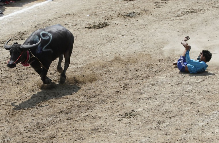 A jockey loses his balance during the annual water buffalo race in Chonburi Province, south of Bangkok, Thailand, Monday, Oct. 26, 2015. The annual race is a celebration among rice farmers before harvest. (AP Photo/Sakchai Lalit)