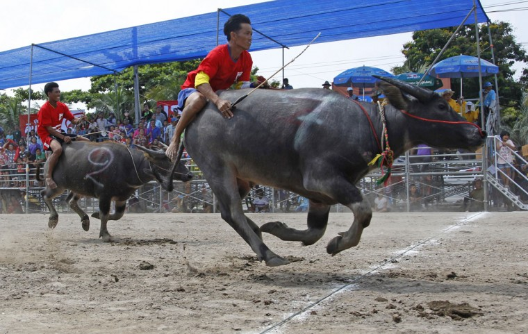 Jockeys competing in the annual water buffalo race cross the finish line in Chonburi Province south of Bangkok, Thailand, Monday, Oct. 26, 2015. The annual race is a celebration among rice farmers before harvest. (AP Photo/Sakchai Lalit)
