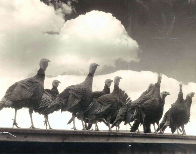 Turkeys high on the perch. (Nelson Edwards Production Co/Baltimore Sun Archives, 1934)