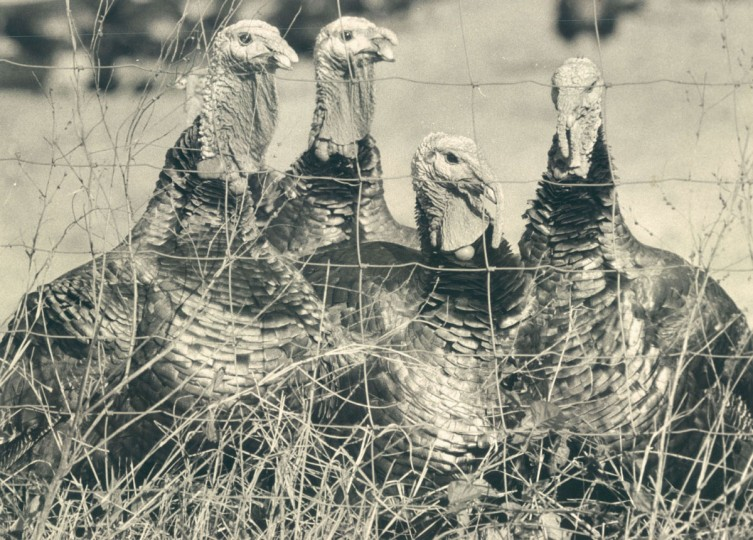 All lined up on Schramm's Turkey Farm. (Walter McCardell/Baltimore Sun, 1975)