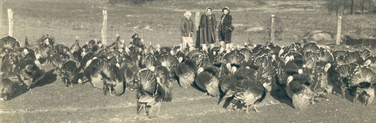 Turkeys at the farm of Eber Pysle in Shady Grove, Pa. (Baltimore Sun, 1945)
