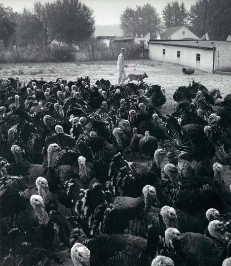 A whole flock of Turkeys. (Richard Stacks/Baltimore Sun, 1964)