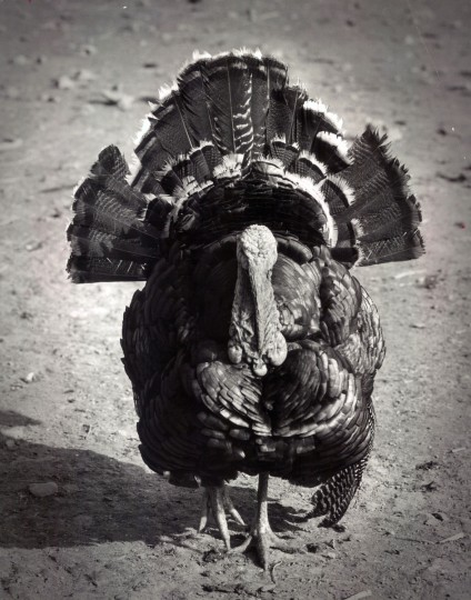 A large gobbler on the farm. (Richard Stacks/Baltimore Sun, 1964)