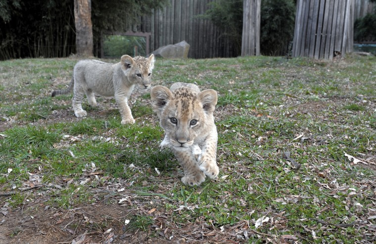 December 04, 2013 - 2-month-old Leia (right) explores the lion exhibit yard out doors for one of the first times with her brother Luke (left). (Photo by Jeffrey F. Bill)
