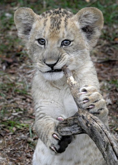 December 04, 2013 - At 2 months old, Leia displays her sharp claws as she chews on a stick while exploring the lion yard at the Maryland Zoo in Baltimore. (Photo by Jeffrey F. Bill)
