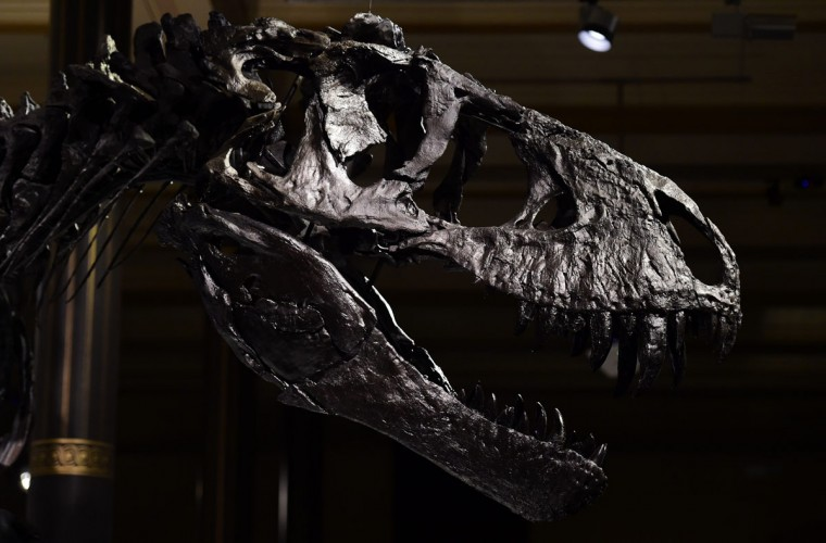 "The head of a nearly complete skeleton of a Tyrannosaurus Rex dinosaur named ""Tristan Otto"" is on display at Berlin's Natural History Museum on December 16, 2015. The 12-metre-long, 3,5-metre-high skeleton was found in Montana, USA in 2010 and is some 66 Million years old. It will be on show at the museum starting December 17, 2015 for a period of three years. (AFP / John MacDougall)"