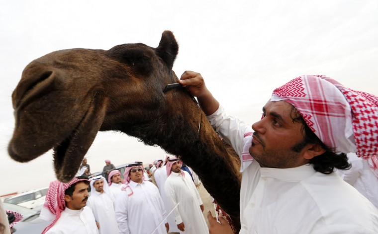 A Saudi man grooms a camel that won a beauty contest during the Mazayin Dhafra Camel Festival in the desert near the city of Madinat Zayed, 150 kms west of Abu Dhabi, on December 25, 2015. (KARIM SAHIB/AFP/Getty Images)