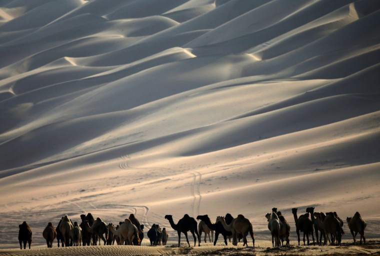 A herd of camels walk along the sand dunes during the Mazayin Dhafra Camel Festival in the desert near the city of Madinat Zayed, 150 kms west of Abu Dhabi, on December 26, 2015. (KARIM SAHIB/AFP/Getty Images)