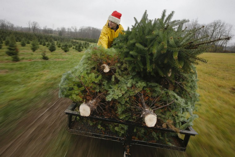 Seasonal worker Michael Biltro holds down a load of freshly cut Christmas trees as they are transported to a prep area at the John T Nieman Nursery, Saturday, Nov. 28, 2015, in Hamilton, Ohio. (AP Photo/John Minchillo)