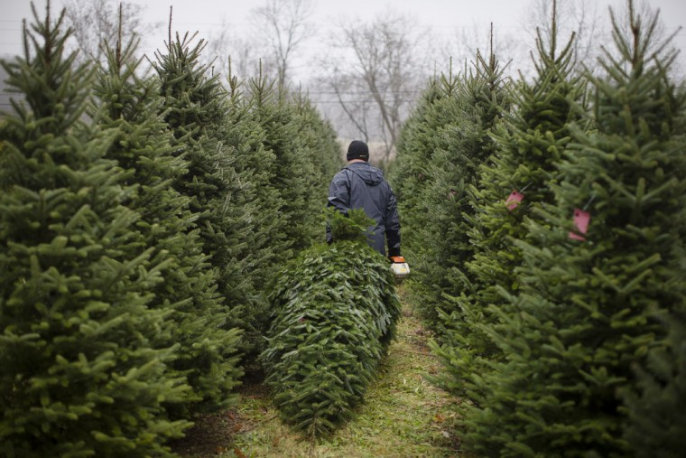 US Army Pfc. Daniel Hurst cuts down a Christmas tree at the John T Nieman Nursery, Saturday, Nov. 28, 2015, in Hamilton, Ohio. (AP Photo/John Minchillo)