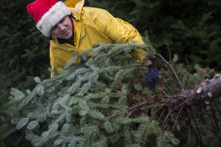 Seasonal worker Michael Biltro carries a freshly cut Christmas tree at the John T Nieman Nursery, Saturday, Nov. 28, 2015, in Hamilton, Ohio. (AP Photo/John Minchillo)