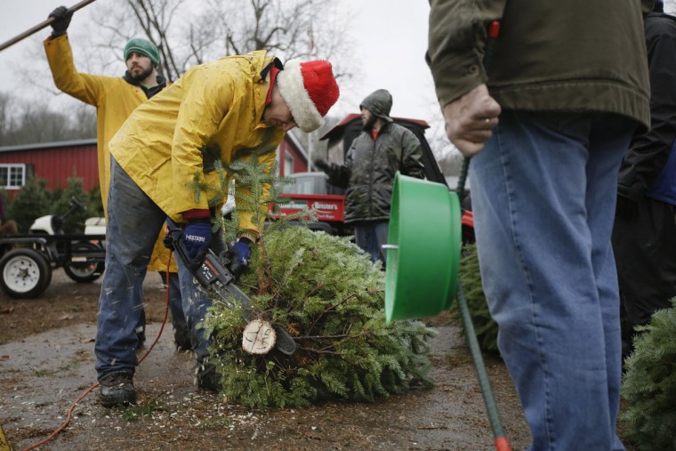 Seasonal worker Michael Biltro preps a Christmas Tree at the John T Nieman Nursery, Saturday, Nov. 28, 2015, in Hamilton, Ohio. (AP Photo/John Minchillo)