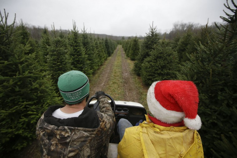 Arborist Tim Nieman, left, and seasonal worker Michael Biltro, right, drive through rows of Christmas trees at the John T Nieman Nursery, Saturday, Nov. 28, 2015, in Hamilton, Ohio. (AP Photo/John Minchillo)