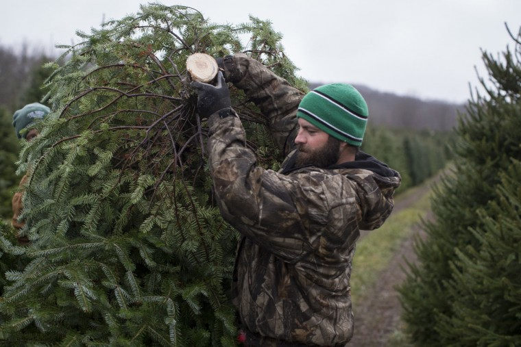 Arborist Tim Nieman carries a freshly cut Christmas tree to a flatbed for transport at the John T Nieman Nursery, Saturday, Nov. 28, 2015, in Hamilton, Ohio. (AP Photo/John Minchillo)