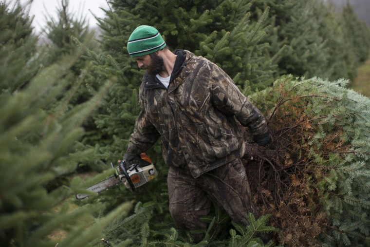 Arborist Tim Nieman hauls a freshly cut Christmas tree to a transport at the John T Nieman Nursery, Saturday, Nov. 28, 2015, in Hamilton, Ohio. (AP Photo/John Minchillo)