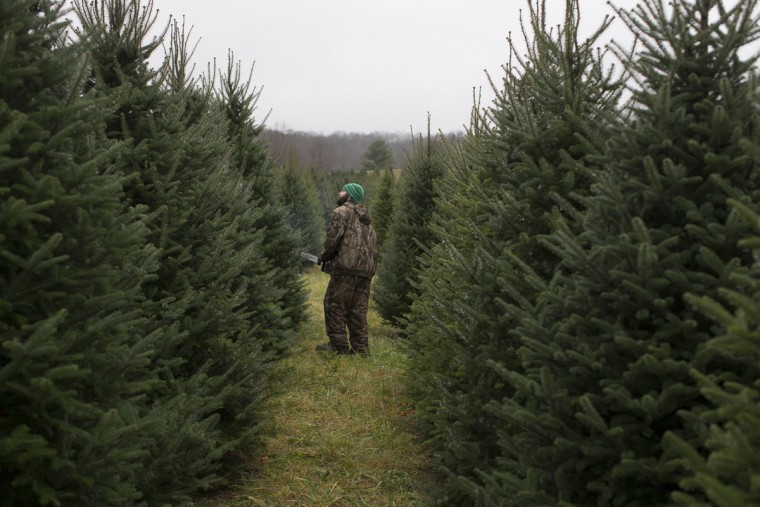 Arborist Tim Nieman searches for the right Christmas trees to cut at the John T Nieman Nursery, Saturday, Nov. 28, 2015, in Hamilton, Ohio. (AP Photo/John Minchillo)