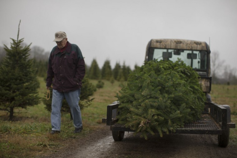 A customer passes a freshly cut Christmas tree loaded onto a flatbed at the John T Nieman Nursery, Saturday, Nov. 28, 2015, in Hamilton, Ohio. (AP Photo/John Minchillo)