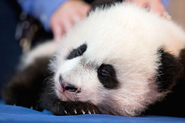 Bei Bei, the National Zoo's newest panda and offspring of Mei Xiang and Tian Tian, falls asleep while being presented for members of the media at the National Zoo in Washington, Monday, Dec. 14, 2015. Bei Bei will be making his public debut on January 16, 2016. (AP Photo/Andrew Harnik)