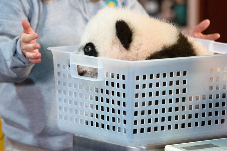 Animal keeper Nicole MacCorkle stands near Bei Bei, the National Zoo's newest panda and offspring of Mei Xiang and Tian Tian, as he sits in a small bin to be weighed for members of the media at the National Zoo in Washington. The youngest giant panda cub at the National Zoo is ready for his close-up. Bei Bei will make his public debut on Jan. 16. During an audience with a small news media contingent Monday, he was so relaxed that he fell asleep and drooled on an examination table. At nearly 4 months old, Bei Bei weighs more than 17 pounds and is gaining about a pound a week. He's bigger than his older siblings were at the same age. (AP Photo/Andrew Harnik)