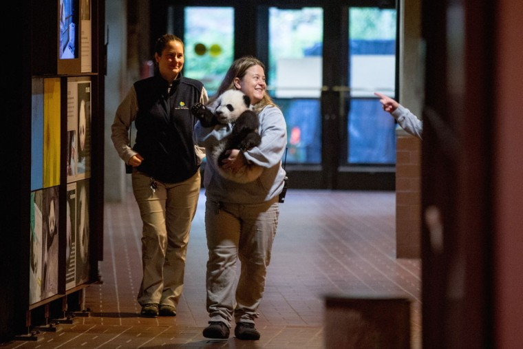 Animal keeper Nicole MacCorkle, accompanied by animal keeper Stacey Tabellario, left, carries Bei Bei, the National Zoo's newest panda and offspring of Mei Xiang and Tian Tian, to be weighed for members of the media at the National Zoo in Washington. The youngest giant panda cub at the National Zoo is ready for his close-up. Bei Bei will make his public debut on Jan. 16. During an audience with a small news media contingent Monday, he was so relaxed that he fell asleep and drooled on an examination table. At nearly 4 months old, Bei Bei weighs more than 17 pounds and is gaining about a pound a week. He's bigger than his older siblings were at the same age. (AP Photo/Andrew Harnik)