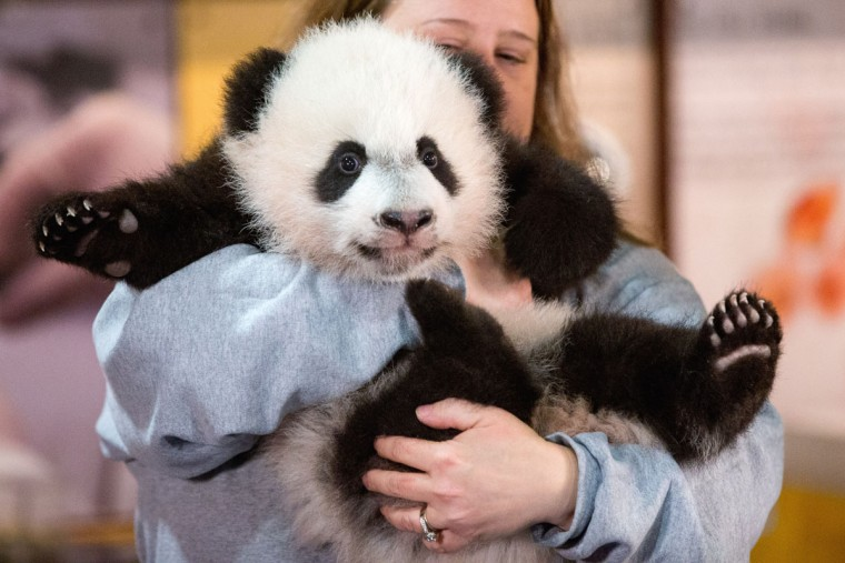Animal keeper Nicole MacCorkle holds Bei Bei, the National Zoo's newest panda and offspring of Mei Xiang and Tian Tian, for members of the media at the National Zoo in Washington. The youngest giant panda cub at the National Zoo is ready for his close-up. Bei Bei will make his public debut on Jan. 16. During an audience with a small news media contingent Monday, he was so relaxed that he fell asleep and drooled on an examination table. At nearly 4 months old, Bei Bei weighs more than 17 pounds and is gaining about a pound a week. He's bigger than his older siblings were at the same age. (AP Photo/Andrew Harnik)