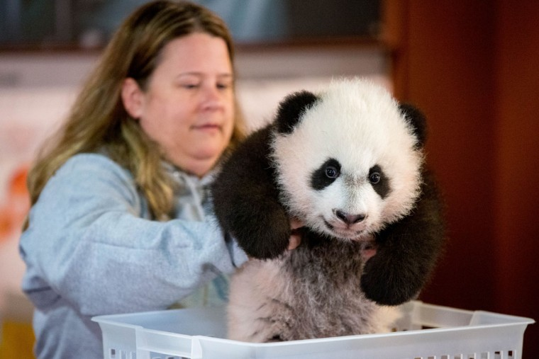 Animal keeper Nicole MacCorkle lifts Bei Bei, the National Zoo's newest panda and offspring of Mei Xiang and Tian Tian, into a small bin to be weighed for members of the media at the National Zoo in Washington, Monday, Dec. 14, 2015. Bei Bei will be making his public debut on January 16, 2016. (AP Photo/Andrew Harnik)