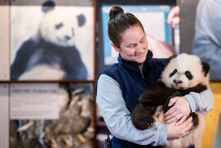 Animal keeper Stacey Tabellario holds Bei Bei, the National Zoo's newest panda and offspring of Mei Xiang and Tian Tian, as he is presented to members of the media at the National Zoo in Washington, Monday, Dec. 14, 2015. Bei Bei will be making his public debut on January 16, 2016. (AP Photo/Andrew Harnik)