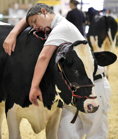"""Johnathan Carver, 14 of Silver Run, rests his head on his holstein steer """"Luke"""" after winning a second place ribbon at the Maryland State Fair. (Barbara Haddock Taylor, Baltimore Sun)"""